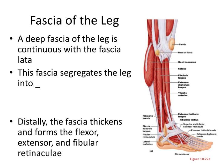 Fascia of the Leg