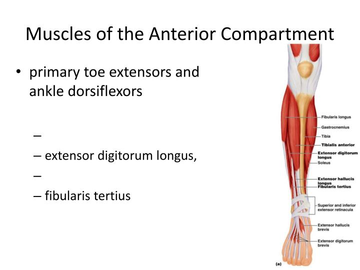 Muscles of the Anterior Compartment