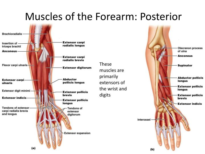 Muscles of the Forearm: Posterior
