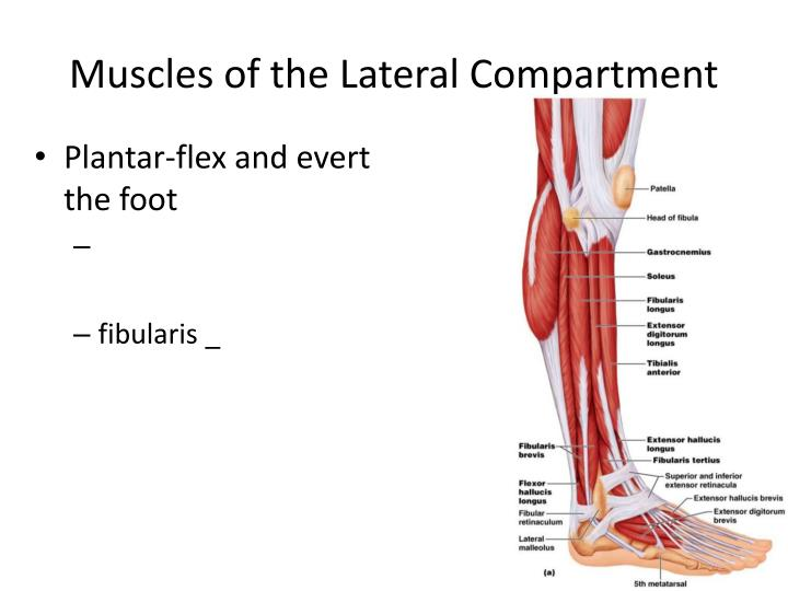 Muscles of the Lateral Compartment