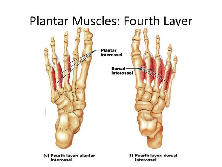 Plantar Muscles: Fourth Layer