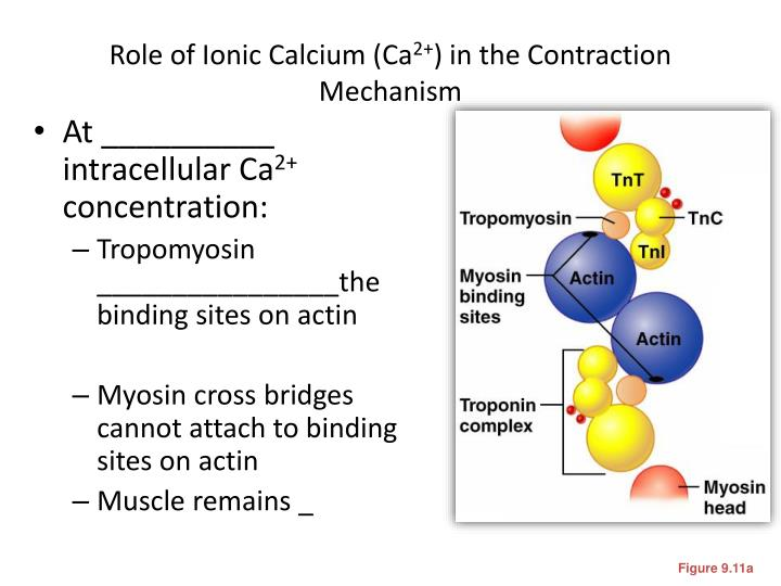 Role of Ionic Calcium (Ca
