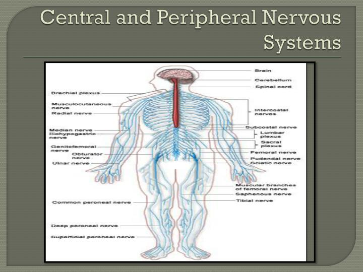 Central and Peripheral Nervous Systems