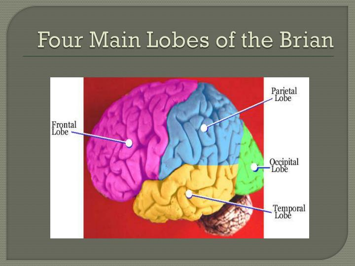 Four Main Lobes of the Brian