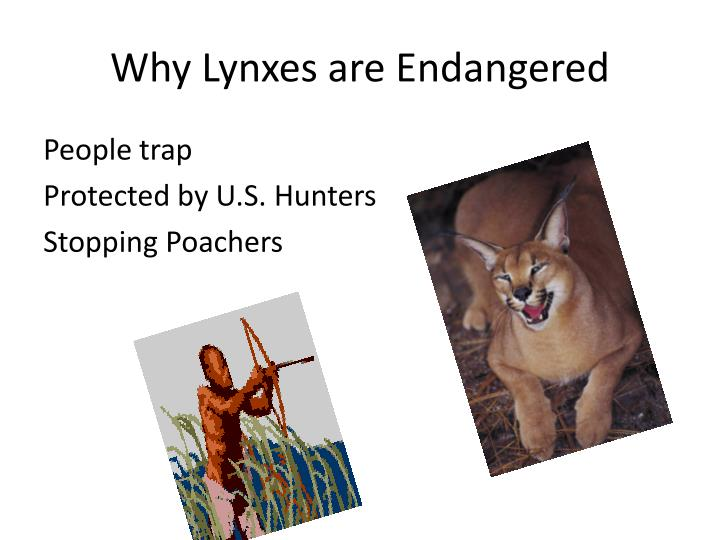 Why Lynxes are Endangered