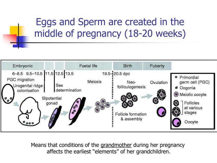Eggs and Sperm are created in the