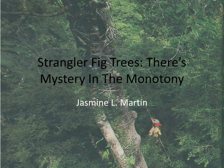 strangler fig trees there s mystery in the monotony