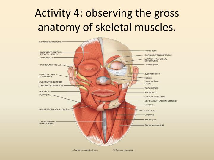 PPT - THE MUSCULAR SYSTEM PowerPoint Presentation - ID:2515289