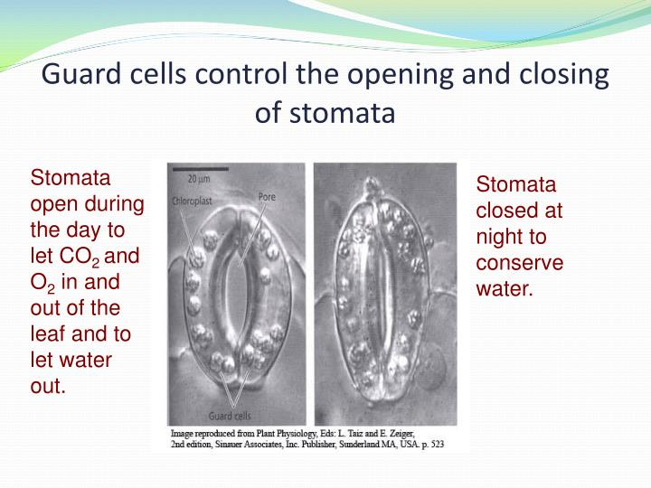 Guard cells control the opening and closing of stomata