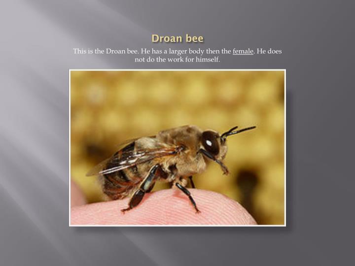 Droan bee