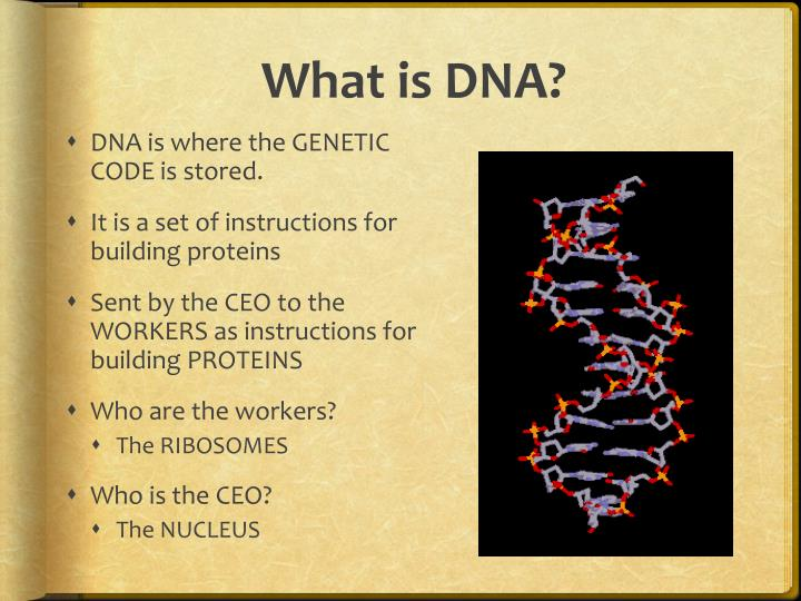 Ppt Dna And Chromosomes Powerpoint Presentation Id2520505