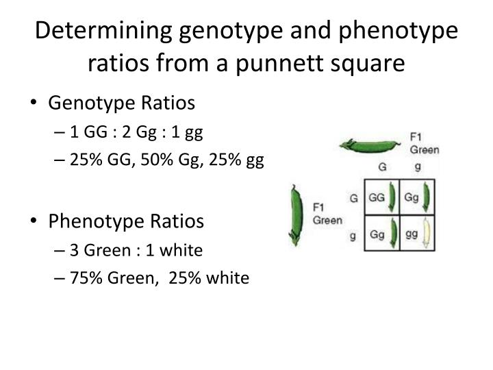 Determining genotype and phenotype ratios from a