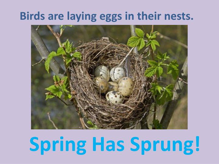 Birds are laying eggs in their nests.