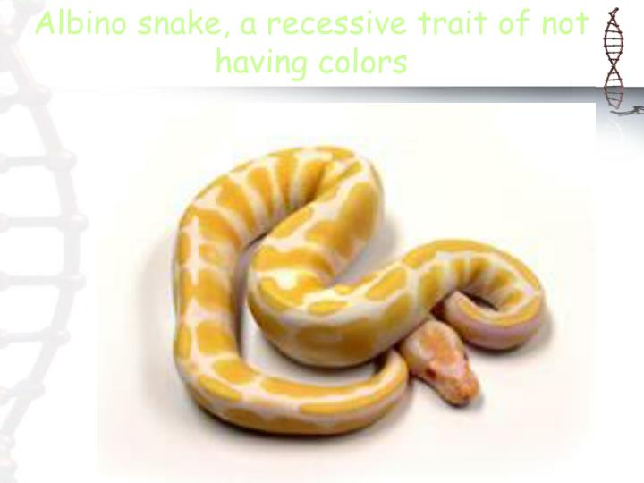Albino snake, a recessive trait of not having colors