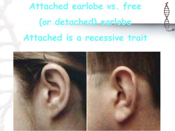 Attached earlobe vs. free