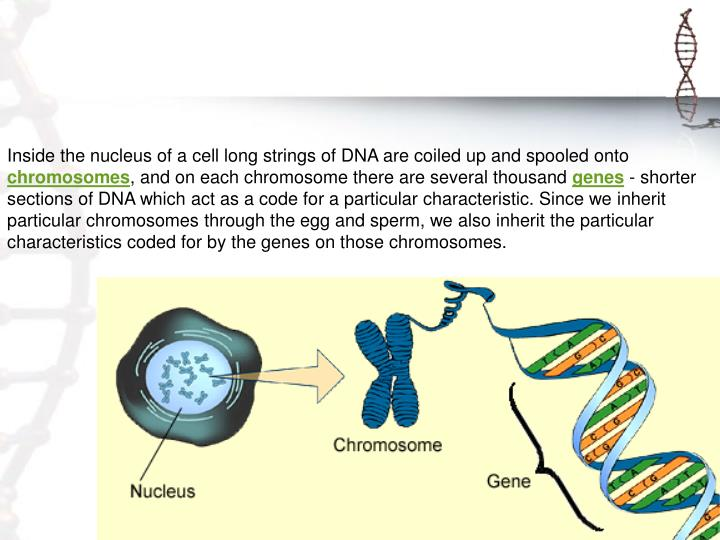Inside the nucleus of a cell long strings of DNA are coiled up and spooled onto