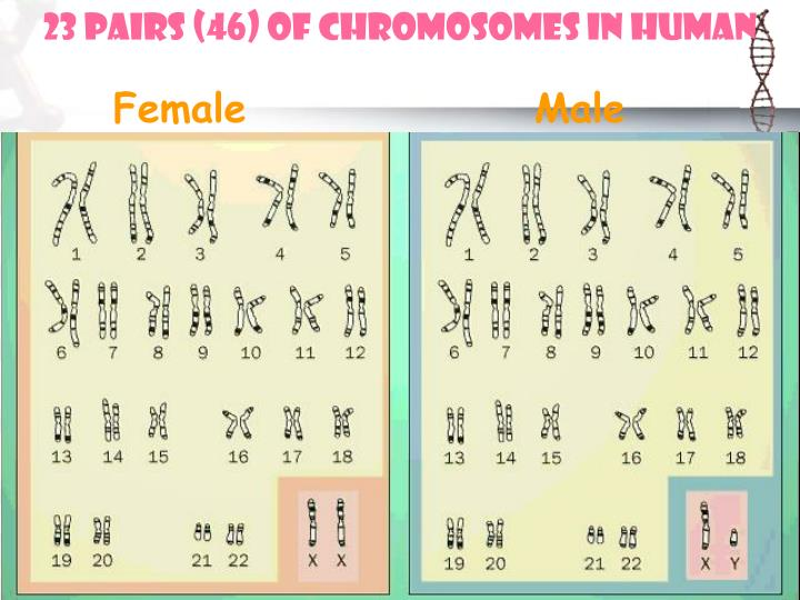 23 pairs (46) of chromosomes in human
