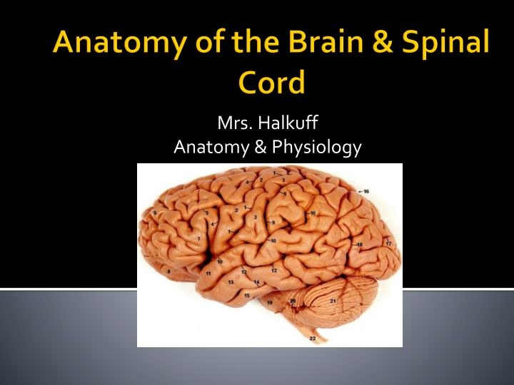 Ppt Anatomy Of The Brain Amp Spinal Cord Powerpoint Presentation