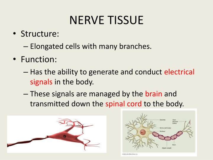 PPT - Epithelial Cells form Epithelial Tissue PowerPoint ...