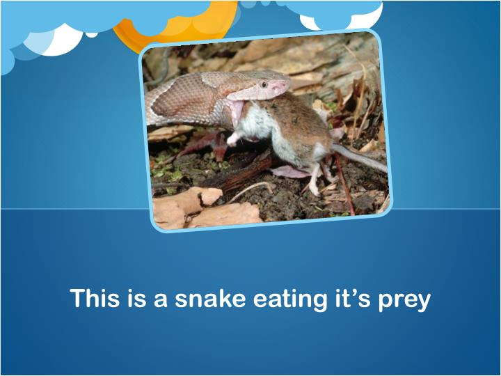 This is a snake eating it's prey