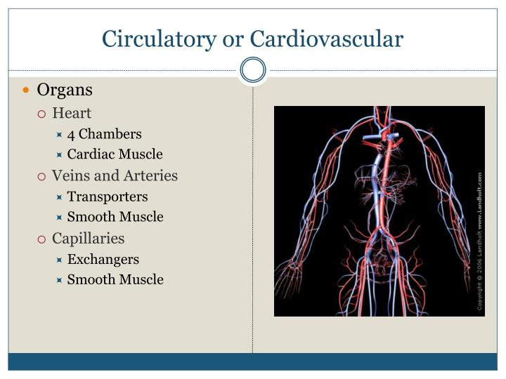Circulatory or Cardiovascular