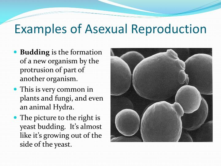 Fungi asexual reproduction budding example