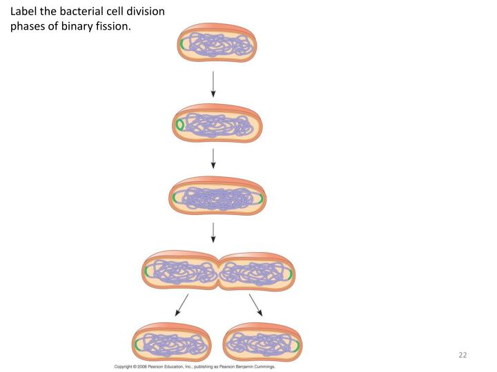 Label the bacterial cell division phases of binary fission.
