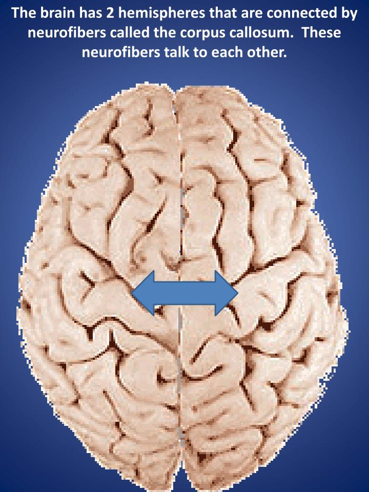The brain has 2 hemispheres that are connected by  neurofibers called the corpus callosum.  These ne...