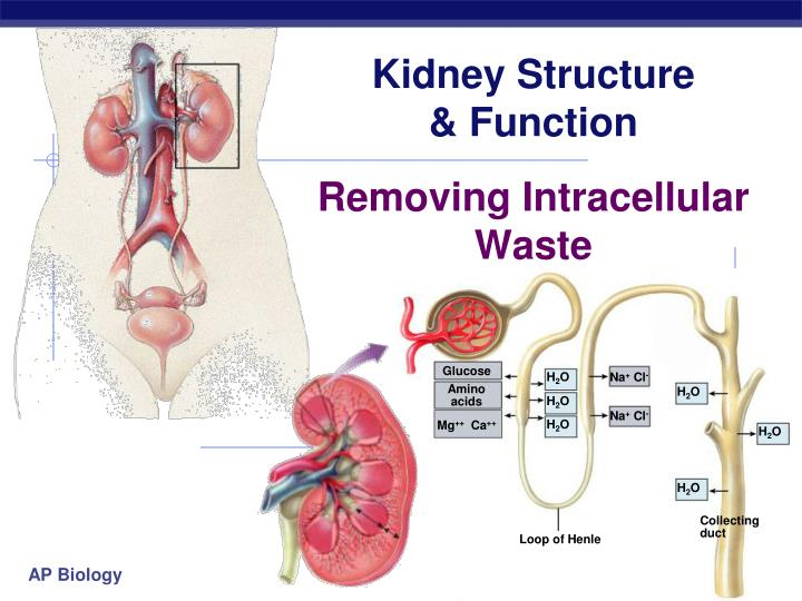 PPT - Kidney Structure & Function PowerPoint Presentation - ID:2569096