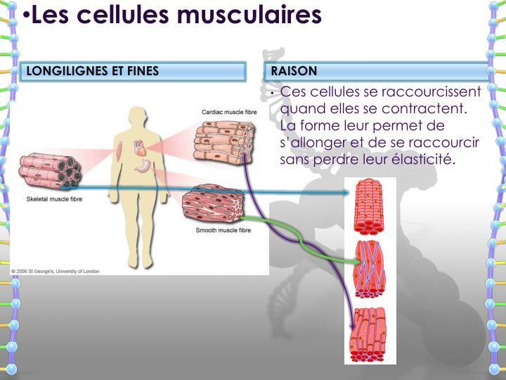 Les cellules musculaires
