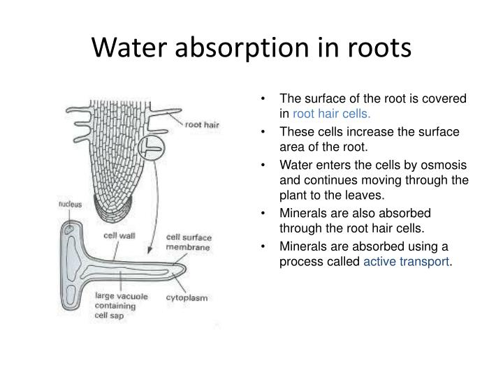 Water absorption in roots