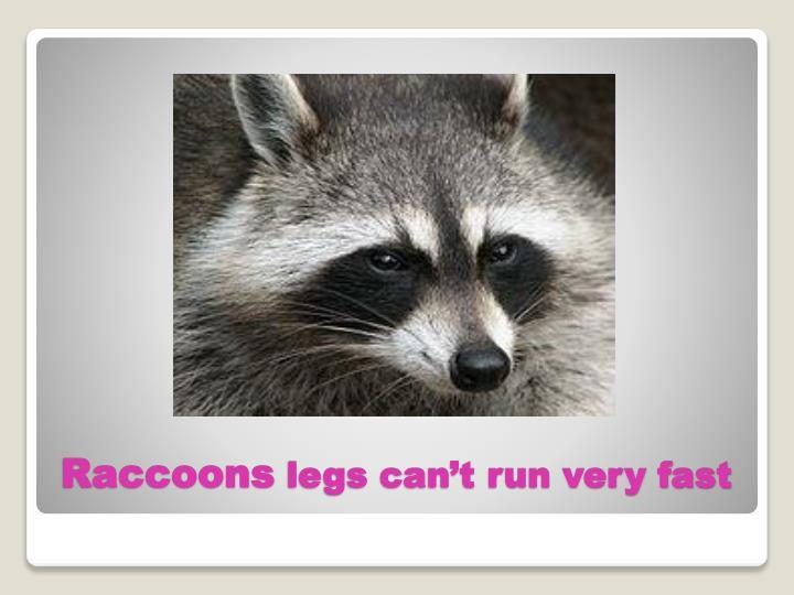Raccoons legs can t run very fast