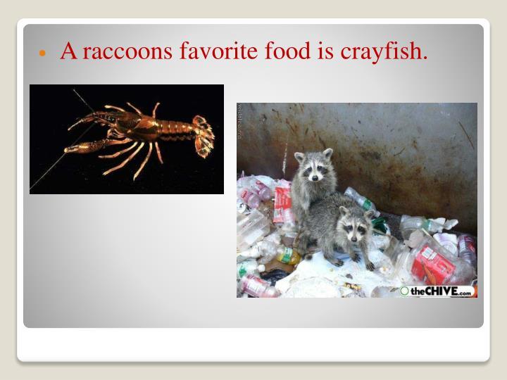 A raccoons favorite food is crayfish.