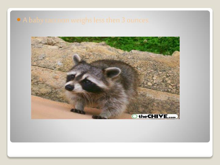 A baby raccoon weighs less then 3 ounces.