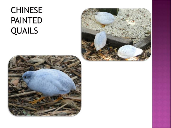 Chinese painted quails1