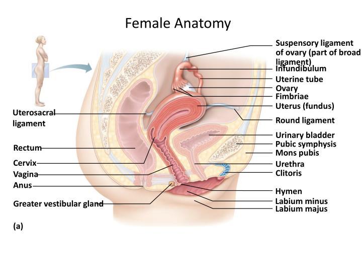 Hymen anatomy image