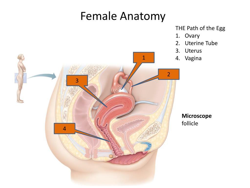 Effect of lh on vagina uterus andoviduct of human female