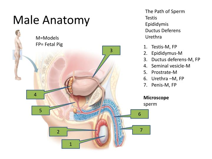 Ppt Bio 1108 Reproductive System Powerpoint Presentation Id2589896
