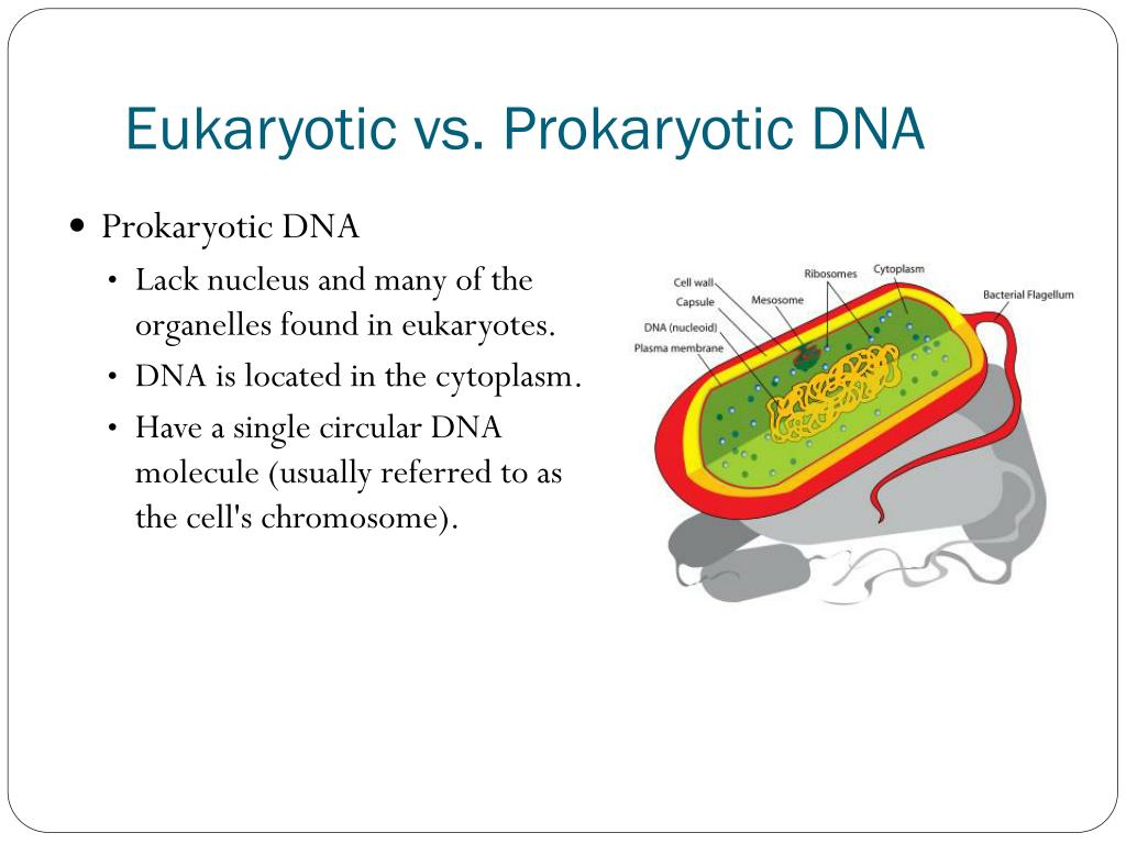 in prokaryotes dna molecules are located in the