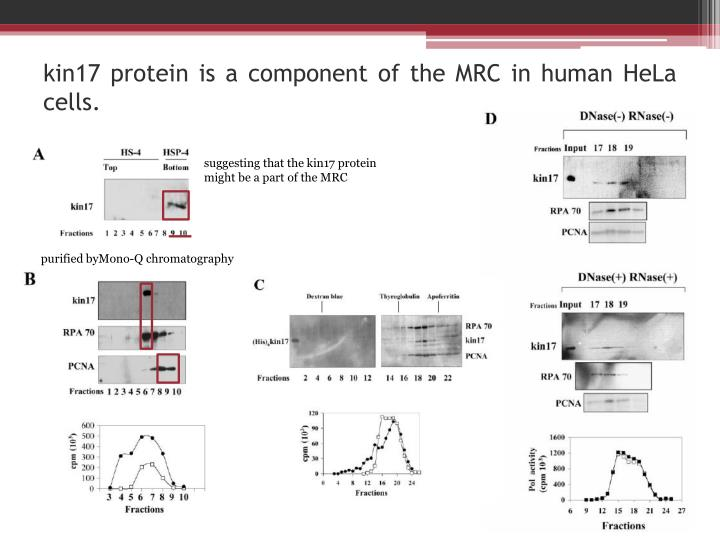 kin17 protein is a component of the MRC in human