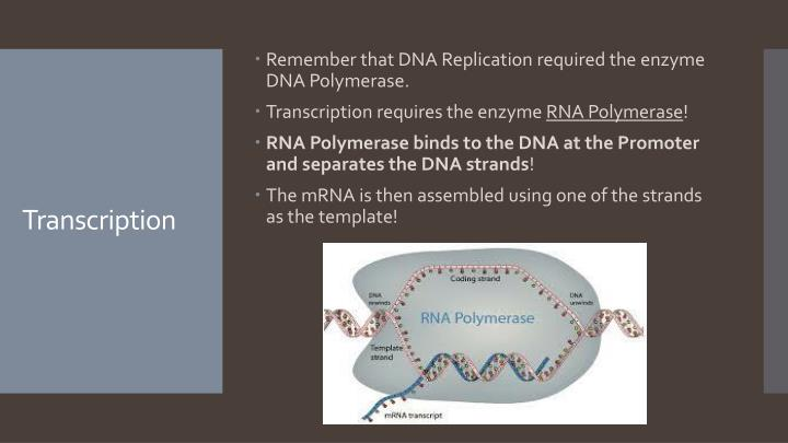Remember that DNA Replication required the enzyme DNA Polymerase.