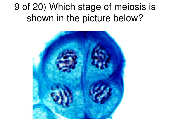 9 of 20) Which stage of meiosis is shown in the picture below?