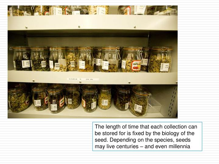 The length of time that each collection can be stored for is fixed by the biology of the seed. Depending on the species, seeds may live centuries – and even millennia