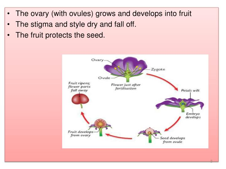 The ovary (with ovules) grows and develops into fruit
