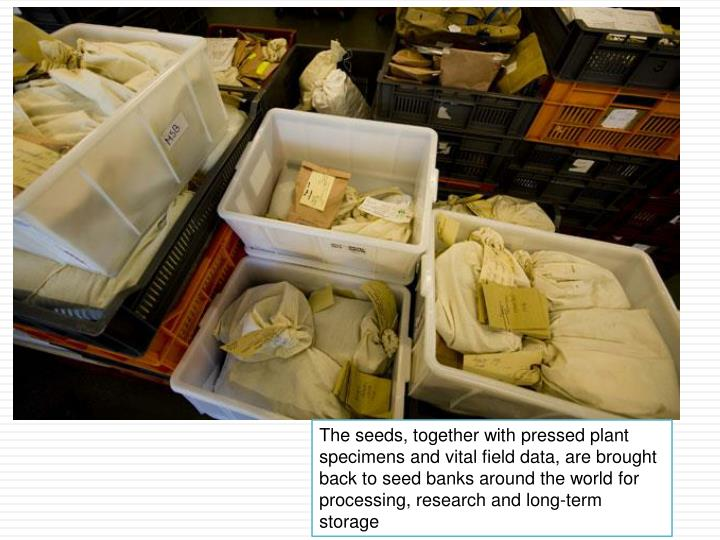 The seeds, together with pressed plant specimens and vital field data, are brought back to seed banks around the world for processing, research and long-term storage