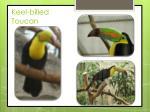 keel billed toucan1