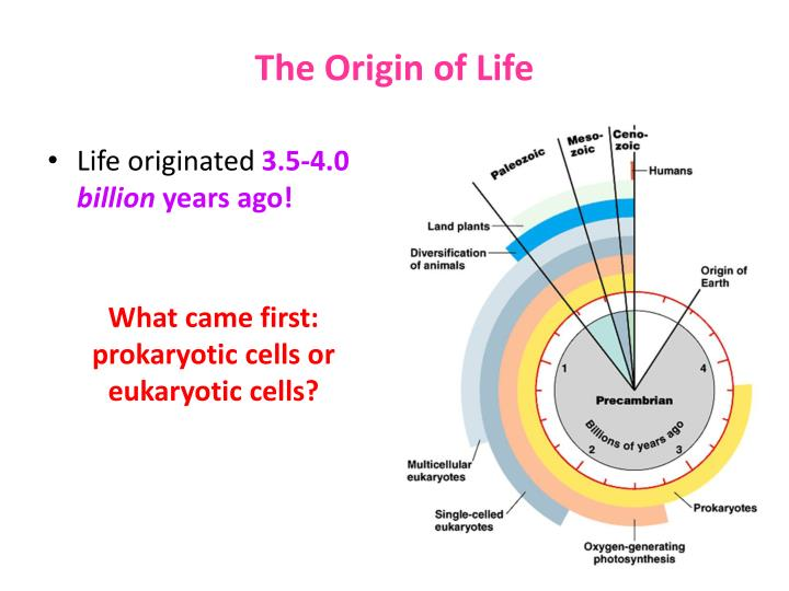 autogenic hypothesis of the origin of the eukaryotic cell Autogenic means produced from within, or self-generating therefore the 'autogenic hypothesis' is most likely to be that the organelles and structures of a eukaryotic cell wer e self-generated by a prokaryotic cell - and this is how eukaryotic cells were created the theory of endosymbiosis is much more widely accepted.