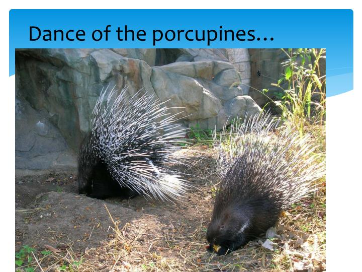Dance of the porcupines…
