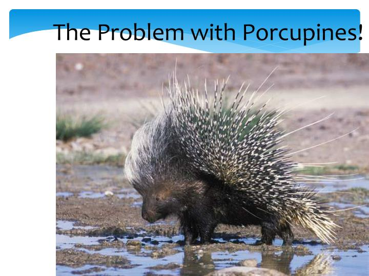 The Problem with Porcupines!