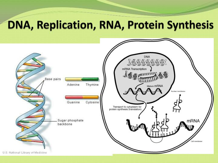 sythesis dna and rna